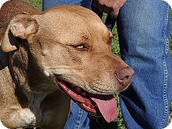 Labrador Retriever/American Pit Bull Terrier Mix Dog for adoption in Littleton, Colorado - TEQUILA