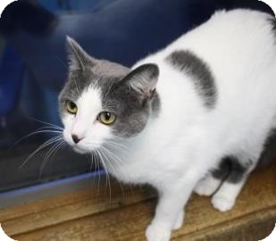 Domestic Shorthair Cat for adoption in West Des Moines, Iowa - Jenna