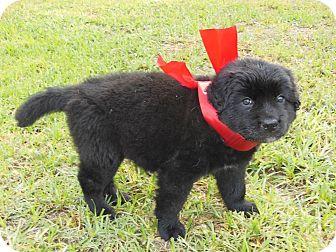 Labrador Retriever/Shepherd (Unknown Type) Mix Puppy for adoption in Westfield, Massachusetts - Divine