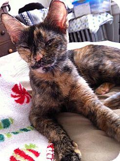 Domestic Shorthair Cat for adoption in Horsham, Pennsylvania - Maxie