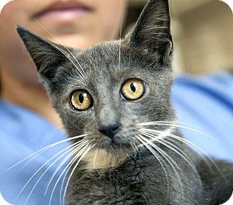 Domestic Shorthair Kitten for adoption in Brooklyn, New York - Diego