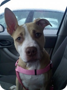 American Pit Bull Terrier/Labradoodle Mix Puppy for adoption in Medford, Massachusetts - Nessie