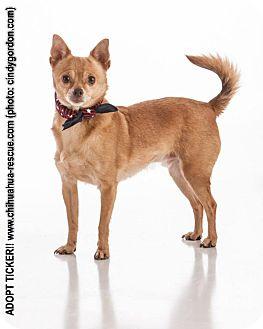 Chihuahua/Pomeranian Mix Dog for adoption in Dallas, Texas - Ticker