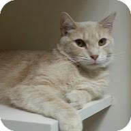Domestic Shorthair Cat for adoption in Trevose, Pennsylvania - Bromley
