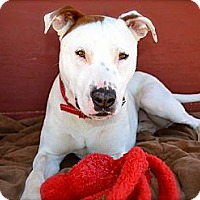 Adopt A Pet :: Ziggy-Courtesy Post - Phoenix, AZ