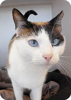 Snowshoe Cat for adoption in Buena Vista, Colorado - Lenore