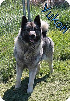 Norwegian Elkhound Mix Dog for adoption in Lewisburg, West Virginia - Yukon