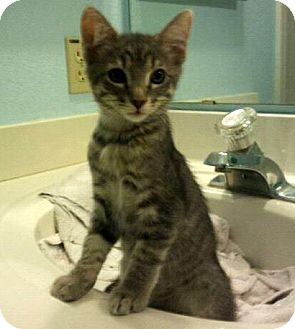 Domestic Mediumhair Kitten for adoption in Chandler, Arizona - Tinsel