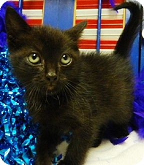 Domestic Mediumhair Cat for adoption in Columbus, Nebraska - Smore