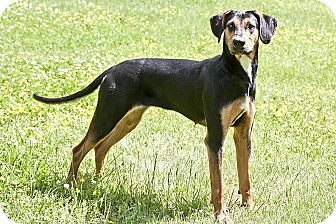 Black and Tan Coonhound Mix Dog for adoption in Cashiers, North Carolina - Penelope