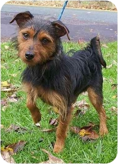 Terrier (Unknown Type, Small) Mix Dog for adoption in Honesdale, Pennsylvania - Max