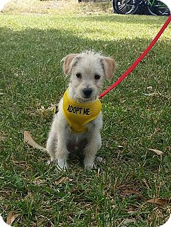 Cairn Terrier/Schnauzer (Miniature) Mix Puppy for adoption in Houston, Texas - Buddy