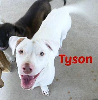 Basset Hound/Labrador Retriever Mix Dog for adoption in San Antonio, Texas - Tyson