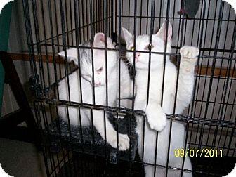 Domestic Shorthair Cat for adoption in New London, Iowa - Fifi (& Jaxson)