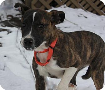 Mountain Cur Mix Puppy for adoption in Livonia, Michigan - C Litter-Lucy-ADOPTED