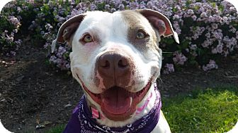 Pit Bull Terrier Mix Dog for adoption in San Dimas, California - Chica