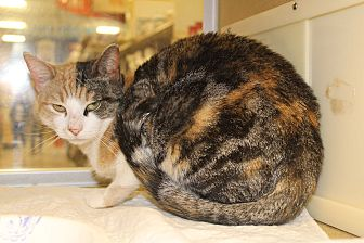 Calico Cat for adoption in Jersey City, New Jersey - Valentina