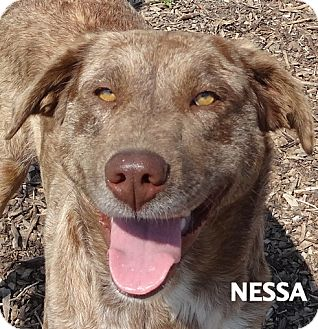 Catahoula Leopard Dog Mix Dog for adoption in Lapeer, Michigan - Nessa-GORGEOUS!