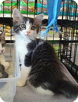 Domestic Shorthair Kitten for adoption in Gilbert, Arizona - Gunther