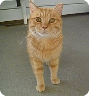 Domestic Shorthair Cat for adoption in Hamburg, New York - Trigger