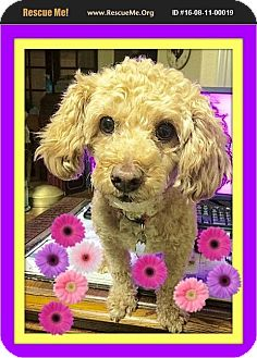 Poodle (Miniature) Dog for adoption in West Los Angeles, California - Bekka