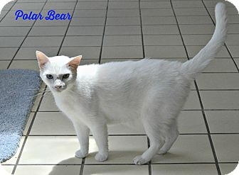 Domestic Shorthair Cat for adoption in Pt orange, Florida - Polar Bear
