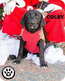 Labrador Retriever Mix Dog for adoption in Kimberton, Pennsylvania - Colby