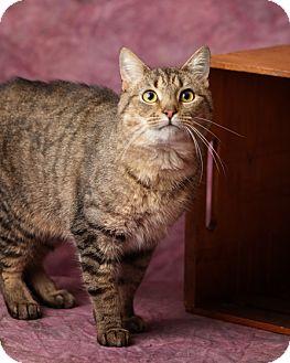 Domestic Shorthair Cat for adoption in Harrisonburg, Virginia - Catpurrnicus