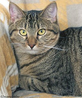 Domestic Shorthair Cat for adoption in St Louis, Missouri - Florence