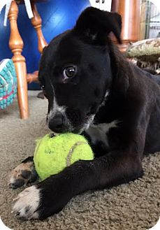 Border Collie/Retriever (Unknown Type) Mix Puppy for adoption in Ada, Minnesota - Dino - Adoption Pending