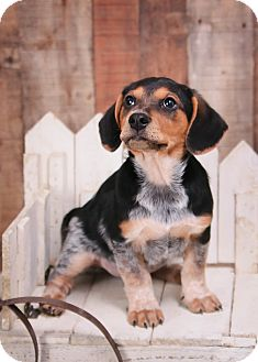 Dachshund/Beagle Mix Puppy for adoption in Parsippany, New Jersey - Dallas