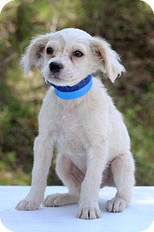 Spaniel (Unknown Type) Mix Puppy for adoption in Waldorf, Maryland - Egypt