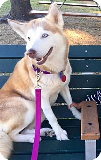 Siberian Husky Dog for adoption in Clearwater, Florida - Honey