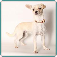 Adopt A Pet :: Biscotti - Glendale, AZ
