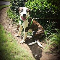 Adopt A Pet :: LITTLE SHY SHEBA - Allentown, PA