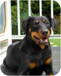 Doberman Pinscher/Labrador Retriever Mix Dog for adoption in Haughton, Louisiana - Daisy