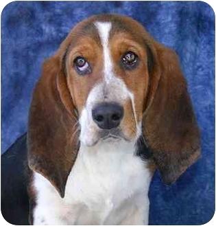 Basset Hound Mix Puppy for adoption in Ladysmith, Wisconsin - D0690