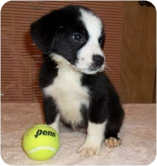 Border Collie Mix Puppy for adoption in Oswego, Illinois - I'M ADOPTED: MOLLY BREENE