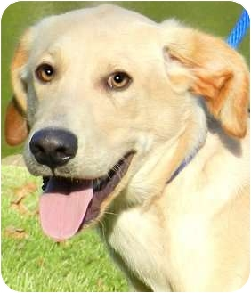 Labrador Retriever Mix Puppy for adoption in Wakefield, Rhode Island - MURPHY(ADORABLE LAB PUP!!)