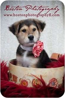 Collie Mix Puppy for adoption in Callahan, Florida - Zoe