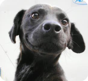 Labrador Retriever/Collie Mix Dog for adoption in Lincolnton, North Carolina - Tip