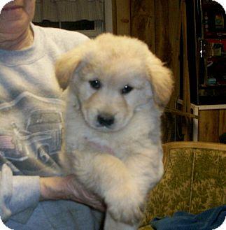 Golden Retriever Mix Puppy for adoption in Liberty Center, Ohio - Marshmellow
