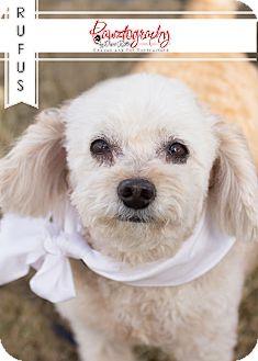 Poodle (Miniature) Mix Dog for adoption in Chandler, Arizona - Rufus