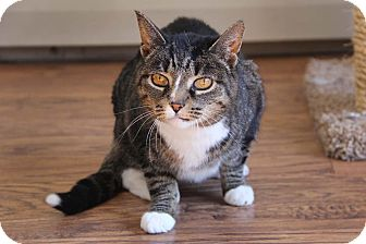 Domestic Shorthair Cat for adoption in Rochester, Michigan - Lucy