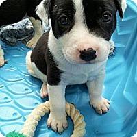 Adopt A Pet :: AVA GRACE - Plano, TX