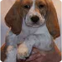 Adopt A Pet :: Maxwell - Portland, OR