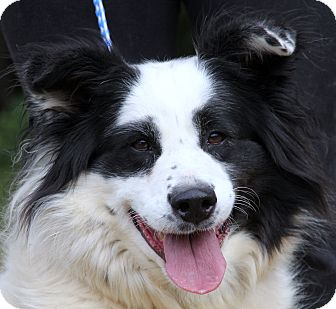 Border Collie Mix Dog for adoption in Chicago, Illinois - Chloe