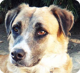 Golden Retriever/Collie Mix Dog for adoption in Poway, California - Simone