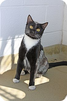 Domestic Shorthair Cat for adoption in Harrisonburg, Virginia - Squares