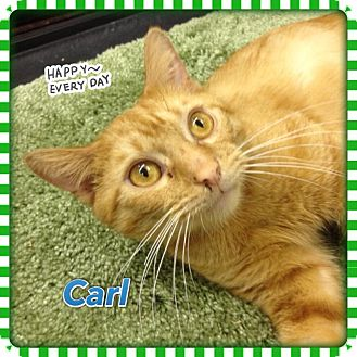 Domestic Shorthair Cat for adoption in Atco, New Jersey - Carl